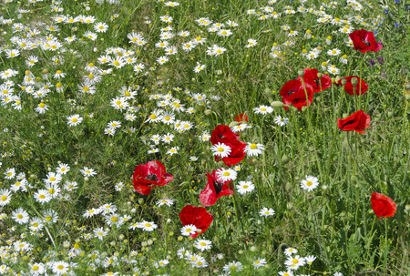marguerites: flower-meadow with white marguerites and red corn poppies Stock Photo