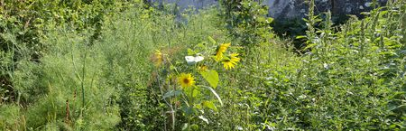 unkempt: unkempt farmers garden with fennel and sunflowers