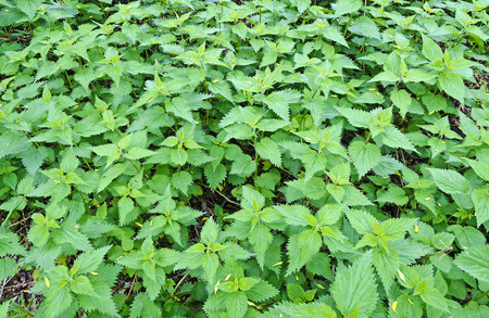 stinging  nettle: stinging nettle field with young plants