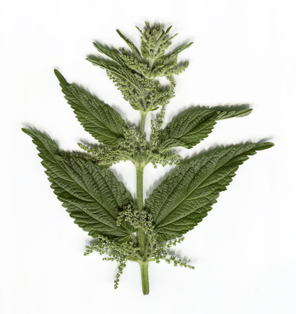 stinging: part of a stinging nettle with blooms Stock Photo