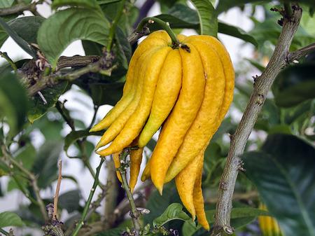 Frucht der Zitruspflanze Buddhas Hand; fruit of the citrus plant