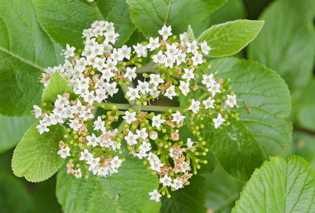 blooms: bush with little white blooms