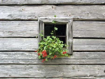 weatherworn: window of a log house decorated with flowers, Ramsau, Styria, Austria