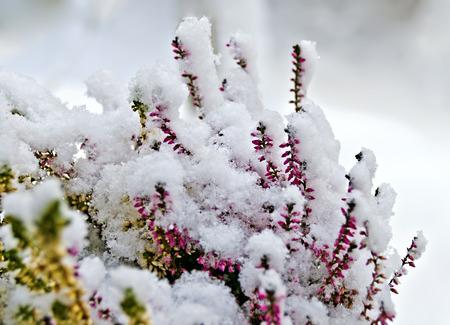 flourishing: flourishing common heather covered with freshly fallen snow Stock Photo