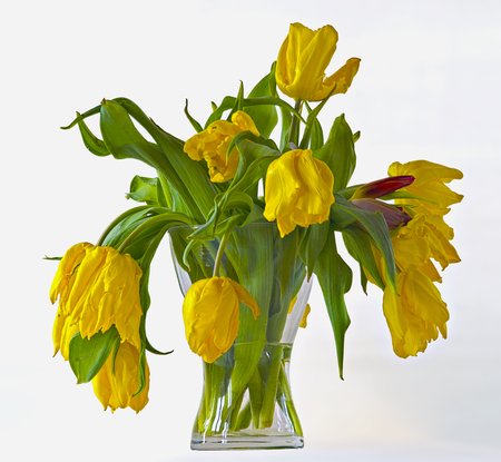 limp: limp bouquet of yellow tulips in a vase of glass