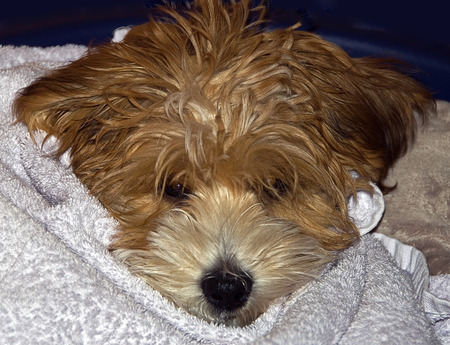 hair wrapped up: portrait of a young dog of the dog breed Havanese  wrapped up in a blanket