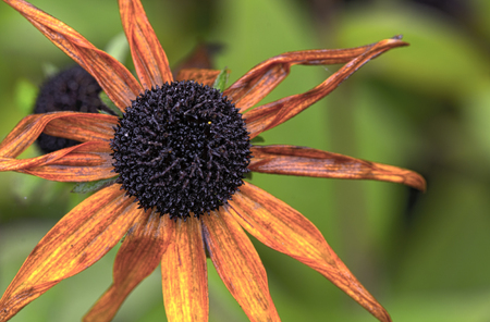 susan: parched blossom of a black-eyed Susan in autumn