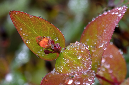 waterdrops: blossom of an amber with waterdrops and colorful leafs