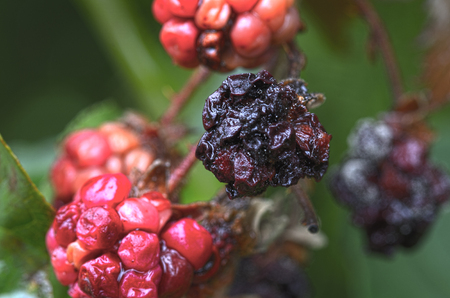 dryed: dryed red and black blackberries in autumn