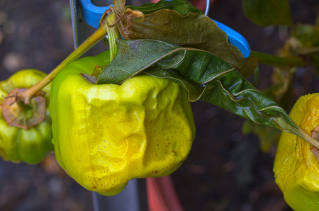 uneatable: green sweet pepper frozen and again defrosted after the first night frost Stock Photo