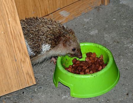 timid: A hedgehog is eating from the bowl with food for the cats at night