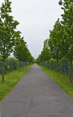 foot path: foot path in a long alley with young lime trees