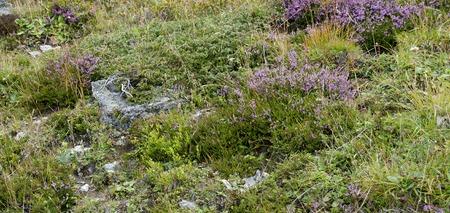 alp: flourishing plants at a alpine pasture