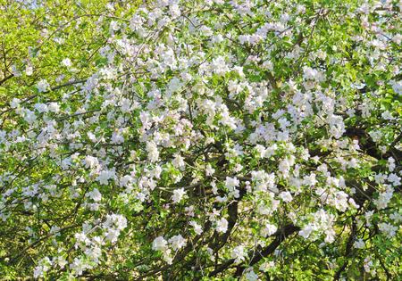 flourishing: white flourishing apple tree at sunshine