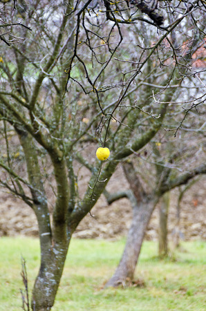 yellow apple: solitary yellow apple at tree without leaves