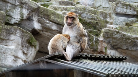 barbary ape: Barbary macaque mother sitting on a roof and young ape hiding his head into her lap