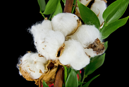 plant gossypium: branch of a Gossypium plant with open seed capsules