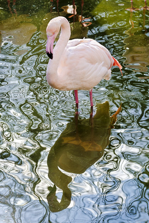 mirror image: pink flamingo and its mirror image at the water surface wavily