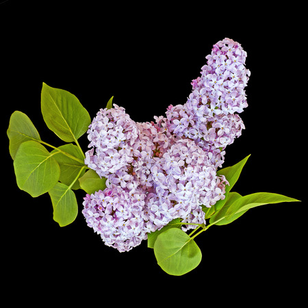 umbel: Blossoms of a purple lilac on a black background