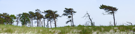 windswept pines  at the dune area of the national park Darsser Ort, Germany