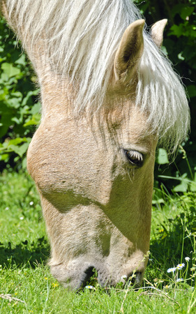 head of a grazing  cream coloured horse on a green meadow
