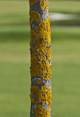 Trunk of a tree overgrown by yellow lichens