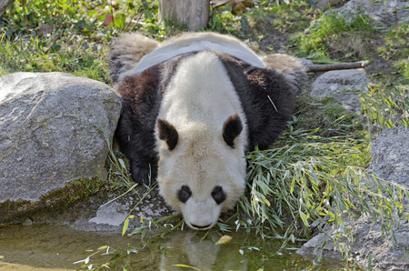 giant Panda bending to water for drinking
