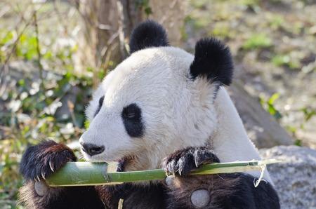 gigantische Panda eet een stuk bamboe Stockfoto