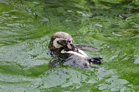 swimm: Humboldt penguin swimming on back in  green water