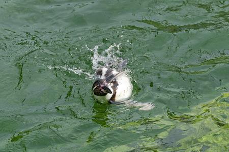 swimm: Humboldt penguin swimming in sideway position in green water
