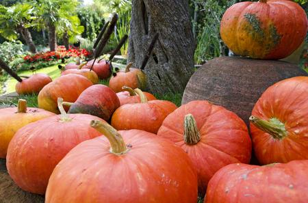 round shaped orange pumpkins lying in a garden under a tree