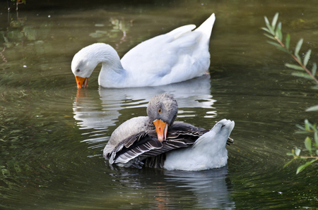 swimm: one graylag and one white domestic goose swimming together on a green pond