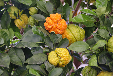 citrus fruits of the variety Buddhas hand on a tree
