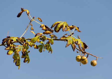 branch of a horse chestnut tree with fruits on a blue sky