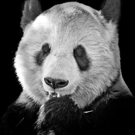 head of a big panda bear in black and white Stock Photo