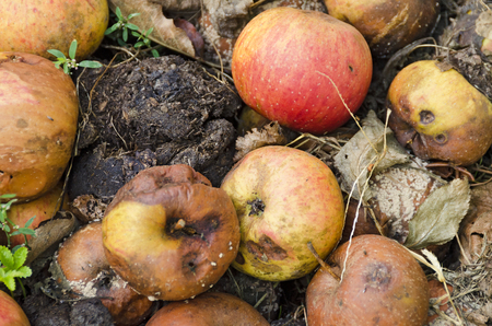 biological waste of foul windfall apples on the soil