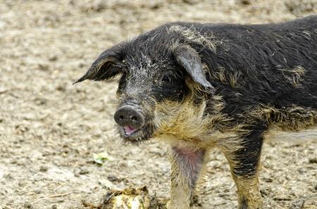 Dirty young hungarian wooly pig (Mangalitza)