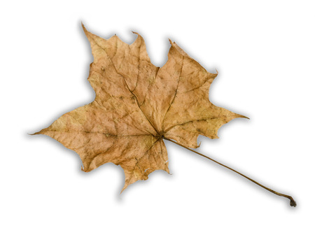 withered brown maple leaf isolated on white background