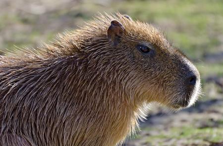 head of a grownup Capibara