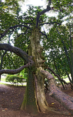Old gnarled tree with bended branches at the garden