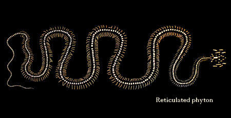 skeleton of a reticulated python on black background Stock Photo