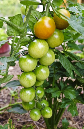truss with unripe fruits of a tomato plant