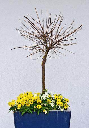 Kleine boom zonder bladeren in een pot met bloeiende bloemen