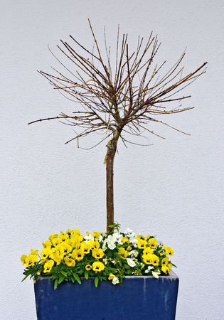 Little tree without leaves in a pot with flourishing flowers