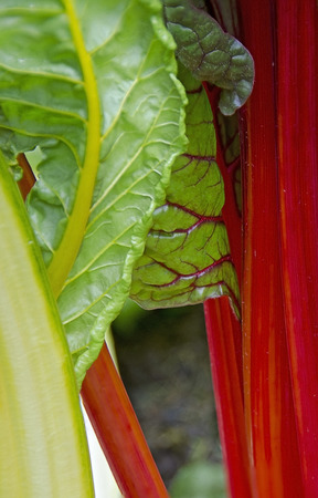 Detail of the vegetable mangelwurzel or chard or silver beet with red stems Stock Photo