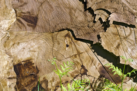 cut surface of a felled tree trunk in sunshine Stock Photo