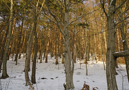 sunny forest with swnowcovered ground at winter