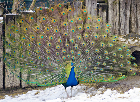 Male blue Indian peafowl  displaying the train standing on snow