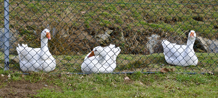 three white geese behind a mesh fence Banco de Imagens