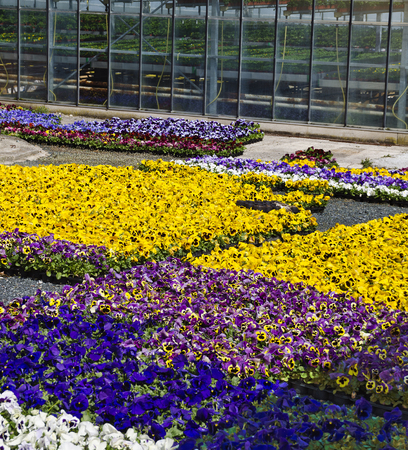 area with colorful pansies at a market garden Archivio Fotografico - 100382427